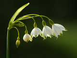 Close Up of a Summer Snowflake  Leucojum Aestivum  Wildflower Bloom