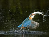 An Adult Male Common Kingfisher  Alcedo Atthis  with a Common Roach
