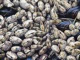 Barnacles and Mussels on Combers Beach in Pacific Rim National Park