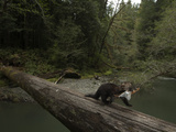 A Remote Camera Captures a Foraging Marten Crossing a Fallen Log