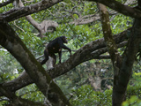 With Her Infant Clinging to Her Belly  a Chimp Climbs a Fig-Tree