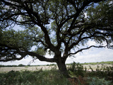 A Ranch Landscape with a Large Tree