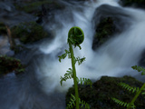 A Furled Fern Frond at the Edge of Trillium Falls