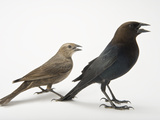 Male and Female Brown-Headed Cowbirds  Molothrus Ater