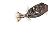 A Whitespotted Boxfish Collected from a Sample of Coral Reef