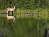 A White-Tailed Deer and Reflection by the Shoreline