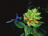 Violet-Bellied Hummingbird (Damophila Julie Panamensis)  Barro Colorado Island  Panama