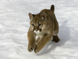 Mountain Lion (Felis Concolor) Cub in the Snow  Kalispell  Montana