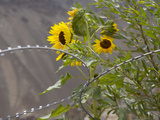 Sunflowers on the Road Between Leh to Kargil