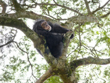 A Chimp Resting High in the Forest Canopy