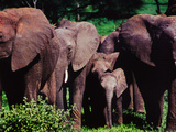Elephants Guard their Young While on the Move