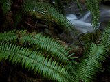 Fern Fronds at the Edge of Trillium Falls