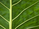 Detail of a Taro Leaf (Colocasia Antiquorum)