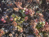Tiny Lingonberry Bushes Grow Amongst Other Plants in the Tundra