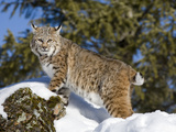 Bobcat (Lynx Rufus) in the Snow  Kalispell  Montana