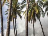 The Midsection of a Group of Palm Trees on the Island of Molokai