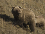 Grizzly Bear (Ursus Arctos)  Alaska