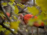 Scarlet Ibises  Eudocimus Ruber  at the San Antonio Zoo