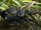 Two Captive Red-Eared Slider Turtles on a Log in Turtle Pond Exhibit