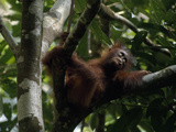 Juvenile Orangutan  Pongo Pygmaeus  Reclines on a Tree Branch