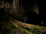 A Remote Camera Captures a Black Bear Crossing a Fallen Log