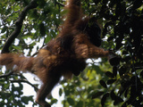 Female Orangutan  Pongo Pygmaeus  with Her Baby Clinging to Her Back