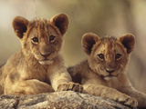 African Lion (Panthera Leo) Cubs Resting on a Rock  Hwange National Park  Zimbabwe  Africa