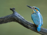 An Adult Male Common Kingfisher  Alcedo Atthis  on a Branch