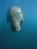 Dugong (Dugong Dugon) Swimming at Water Surface  Lamen Bay  Epi Island  Vanuatu
