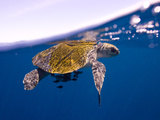 A Sea Turtle Offers Some Protection for Small Fish in the Open Ocean