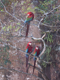 Three Green-Winged Macaws Perched in a Tree