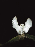 Barn Owl (Tyto Alba) on Tree Branch with Wings Spread  Sauvie Island Wildlife Area  Oregon