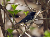 A Male Black-Throated Blue Warbler in Shrubbery Branches