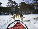 A Team of Siberian Husky Sled Dogs Pull a Sled Through Alpine Snow