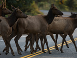 Roosevelt Elk Cross a Road in Prairie Creek Redwoods State Park