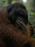 Male Orangutan  Pongo Pygmaeus  with Hand Covering His Mouth