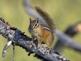 Portrait of a Least Chipmunk  Tamias Miniums  on a Tree Branch