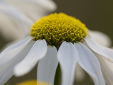 Close Up on the Flower of a Daisy  Leucanthemum Species