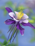 Colorado Blue Columbine (Aquilegia Caerulea) Close Up of Bloom  North America
