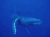 Humpback Whale (Megaptera Novaeangliae)  Maui  Hawaii (Photo Obtained under NMFS Permit)
