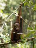 A Juvenile Oranutan  Pongo Pygmaeus  Hangs from a Tree Branch