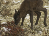 A Newborn Reindeer Calf Tries Out its Shaky Legs on Tundra Lichens
