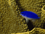 Brillant Blue Starck's Damselfish Swimming in Coral
