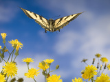Western Tiger Swallowtail (Papilio Rutulus) Butterfly and Smooth Hawksbeard Flowers  Oregon