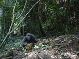 A Motion-Triggered Camera Caught This Gorilla Feeding