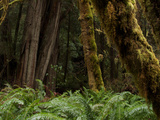 Moss Covered Redwood Trees in Prairie Creek Redwoods State Park