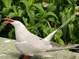 Arctic Tern Calling While Resting on a Walkway on Machias Seal Island