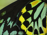 Close Up of Wing Color Pattern on a Cairns Birdwing Butterfly