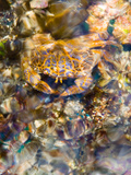 A Colorful Crab Sits Just under the Surface of the Water in Indonesia