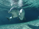 Bottlenose Dolphin (Tursiops Truncatus) Underwater Pair  Hawaii